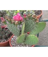 Opuntia basilaris hybrid Cactus Pink Flowers 1 Pad - $8.86