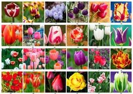 tulip seeds, 50 seeds  Mixed Perennial  flower - $0.99