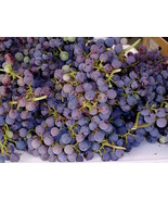 3 Cuttings of Cabernet Sauvignon, makes a high quality wine.  zone 6 to 10 - $9.78