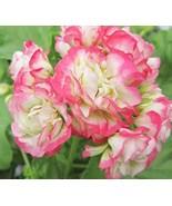 20 Seeds - Rare Geranium Bonsai Apple Blossom Rosebud Pelargonium Hortor... - $17.99