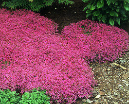 100 Creeping Thyme Seeds Scarlet, Perennial Heirloom Groundcover Seeds - $4.99