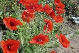CORN POPPY 500 SEEDS ORGANIC, BRILLIANT RED FLOWER, BEAUTIFUL RED BLOOMS - $8.99