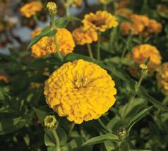 50 Seeds , Giant Golden Yellow Zinnia Seeds , Yellow Zinnia Flower Seeds 4587G - $9.50