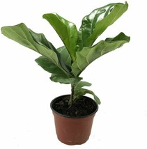 "6"" Pot Plant Ficus Fiddleleaf Fig Tree Great Indoor Live Tree Easy House... - $90.99"