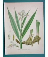 GALANGEL Medicinal Plant Alpinia Officinarum - Beautiful COLOR Botanical... - $28.69