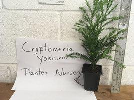 CRYPTOMERIA YOSHINO Japanese Cedar image 3