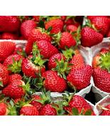 Sweet Red Strawberry Plant - 1 Pack of 10 Roots/Plants - One of The Easi... - $12.99
