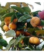 5 GIANT FUYU PERSIMMON JAPANESE FRUIT TREE GRAFTED Approx. 1 foot tall each - $100.00