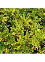 CROTON GOLD DUST 2 LIVE PLANTS GROWN IN 3 INCH POT - $20.00
