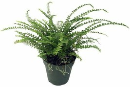 "Live Plant Nephrolepis cordifolia Duffii Lemon Button Fern 4"" Pot Housep... - $52.99"