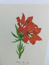 VTG Western Red Lily  (Lilium Umbellatum)  9x12 Frameable Print Nature F... - $11.75