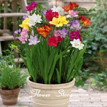 Colorful freesia seeds, DIY flower plants, decorative garden, improve 10... - $6.55