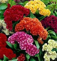 500 Seeds Celosia Crested Cockscomb Mix - $19.96
