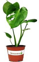 "JM BAMBOO Split Leaf Philodendron 6"" Pot - Monstera - Edible Fruit Tastes Like P - $31.35"