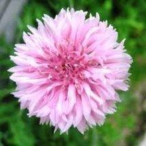 "Non GMO Bulk Cornflower/Bachelor Button Seeds -""Tall Pink"" Centaurea cyanus (50  - $971.14"
