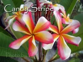 Free Bonus + Rare & Exotic ~ Candy Stripe~ Plumeria Frangipani tip cutting - $12.95