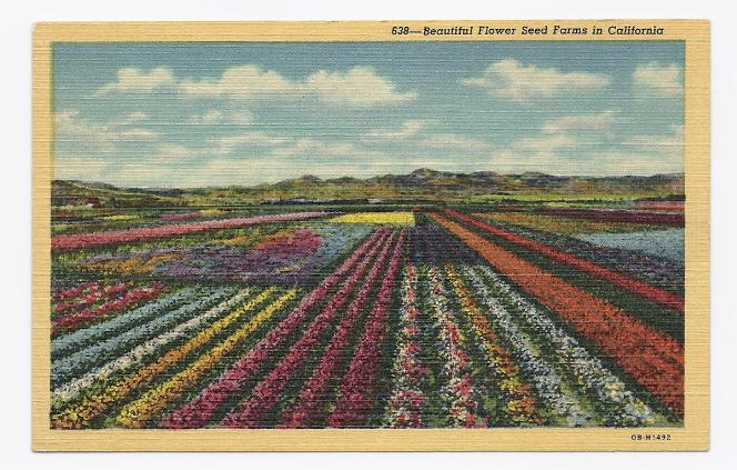 c1920 - Beautiful Flower Seed Farm in California - Unused