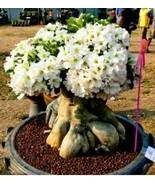White Desert Rose - LIVE PLANT Adenium Obesum BONSAI TROPICAL - $13.81