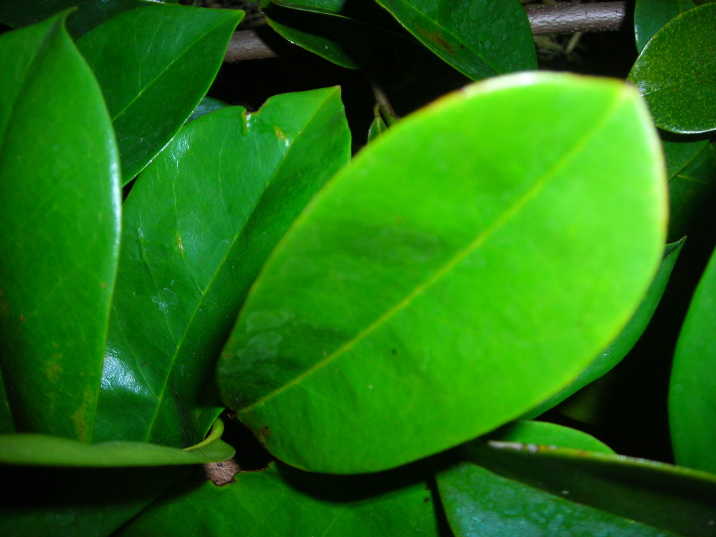 Cancer Treatment   Cure Cancer With Soursop Leaves And ...   Soursop Leaves