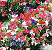 Super 10 Seeds 6 Kinds Lathyrus Odoratus Climbing Plant Annual Sweet Pea Flower - $2.10