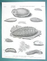 MOLLUSKS Sea Hare Lemon Mouse Doris - 1820 ABRAHAM REES Print - $14.40