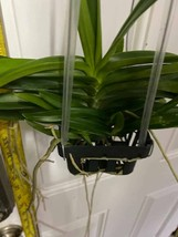 Ascocentrum miniatum Orchid Blooming Size FIVE PLANT CLUMP!!! SPECIES 0222 image 2