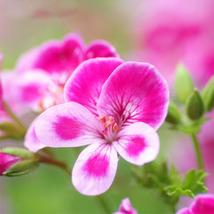 20 Pieces/ Bag Rare Pink Butterfly Univalve Geranium Seeds Perennial Flo... - $4.79