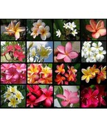 12 Hawaiian Lei Tree Plumeria frangipani tip cuttings Rare Exotic Fragrant - $72.99