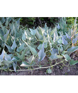 Buffalo (Coyote) gourd - Rare, wild vine, drought resistant, widely adap... - $3.50
