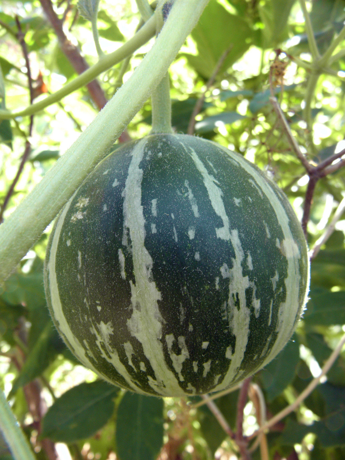Buffalo (Coyote) gourd - Rare, wild vine, drought resistant, widely adaptable