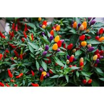Aurora Pepper 10 Seeds #SDP99 - $24.17
