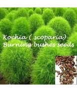 Kochia, Bassia scoparia,Trichophylla, Kochia scoparia, Kochia tricophylla seeds - $2.99
