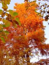 1 Packet of 30 Seeds Bald Cypress Northern Tree/Pinales Taxodiaceae/Taxodium dis - $14.57