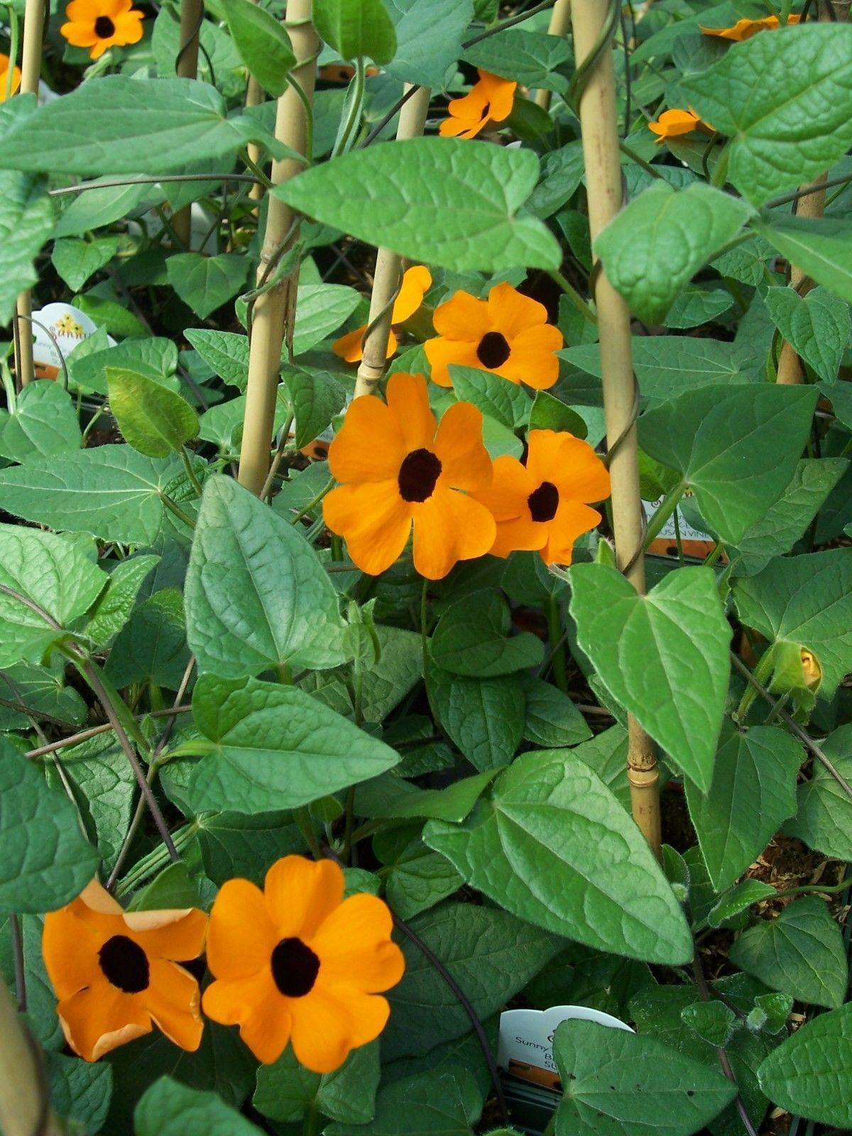 Primary image for 50 Thunbergia alata Seeds,Commonly called Black-eyed Susan vine,Climber Flowers