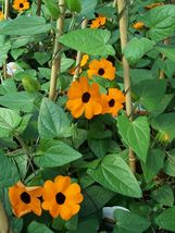 50 Thunbergia alata Seeds,Commonly called Black-eyed Susan vine,Climber ... - $8.99