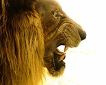 Lion-roar-widescreen-wallpapers_thumb155_crop