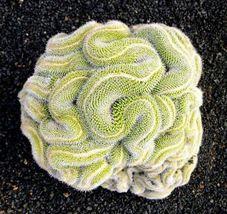 20 Green Brain Cactus Seeds Mixed Heat Rare Succulents Stone Flower - TTS - $29.95