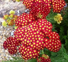1000 Seeds Achillea millefolium Yarrow Sneezewort Paprika mix Flower Bul... - $9.30