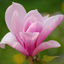 Pink Magnolia Seeds Common Magnolia Flowers The Full Range of Flower See... - $4.89
