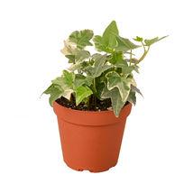 "Live Plant - English Ivy 'Glacier' - 4"" Pot - Outdoor Living - Houseplant - $40.99"
