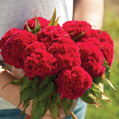 Primary image for Chief Carmine Celosia Seed /  Celosia Flower Seeds