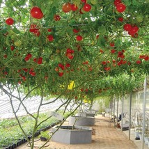 100 Pcs Tree Tomato Seed Balcony Fruits Seed Vegetables Potted Bonsai P... - $8.00