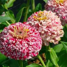50seeds pink Classic Zinnia Elegans Flower bonsai Beautiful garden decor... - $2.99