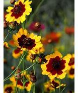 50 Seeds of Plains Coreopsis - Coreopsis tinctoria - $11.74