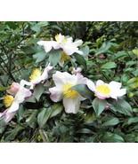 5 TEA PLANT Black & Green Drinking Tea Camellia Sinensis Tree Shrub Flow... - $14.00