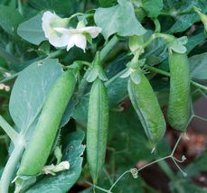 SHIP From US,200 Seeds 'Early Frosty'-Garden Pea Seeds, DIY Healthy Vegetable AM - $54.99