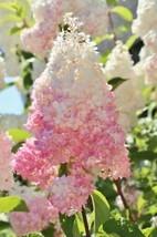 10 Light Strawberry Hydrangea Seeds Perennial Hardy Garden Shrub Bloom -... - $23.95