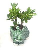 'Hobbit' Jade Plant - Crassula ovuta Elephant Round Vase - $26.45