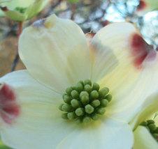 White Dogwood Flower Photograph 8X10 Fine Art Print Nature Photo Photogr... - $20.00