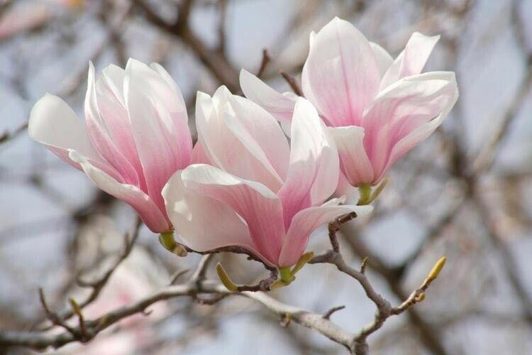 "Saucer Magnolia 2 1/2"" pot Soulangeana"